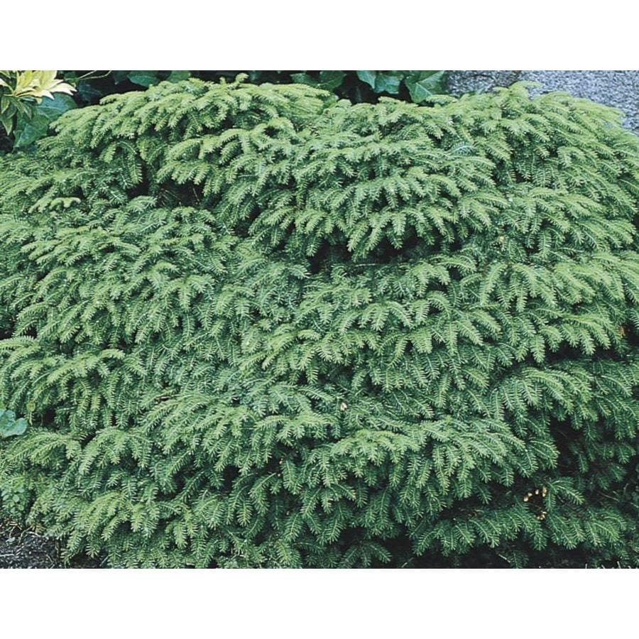 2.87-Quart Bird's Nest Spruce Accent Shrub (L3936)