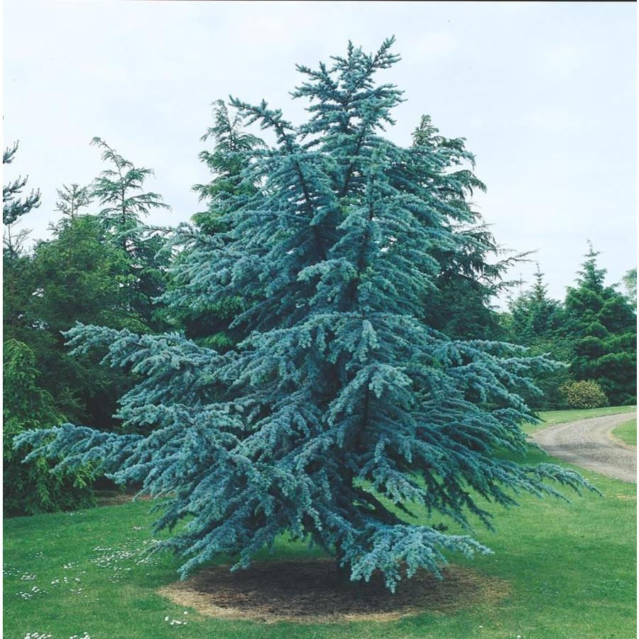 7.15-Gallon Blue Atlas Cedar Feature Tree (L4673)