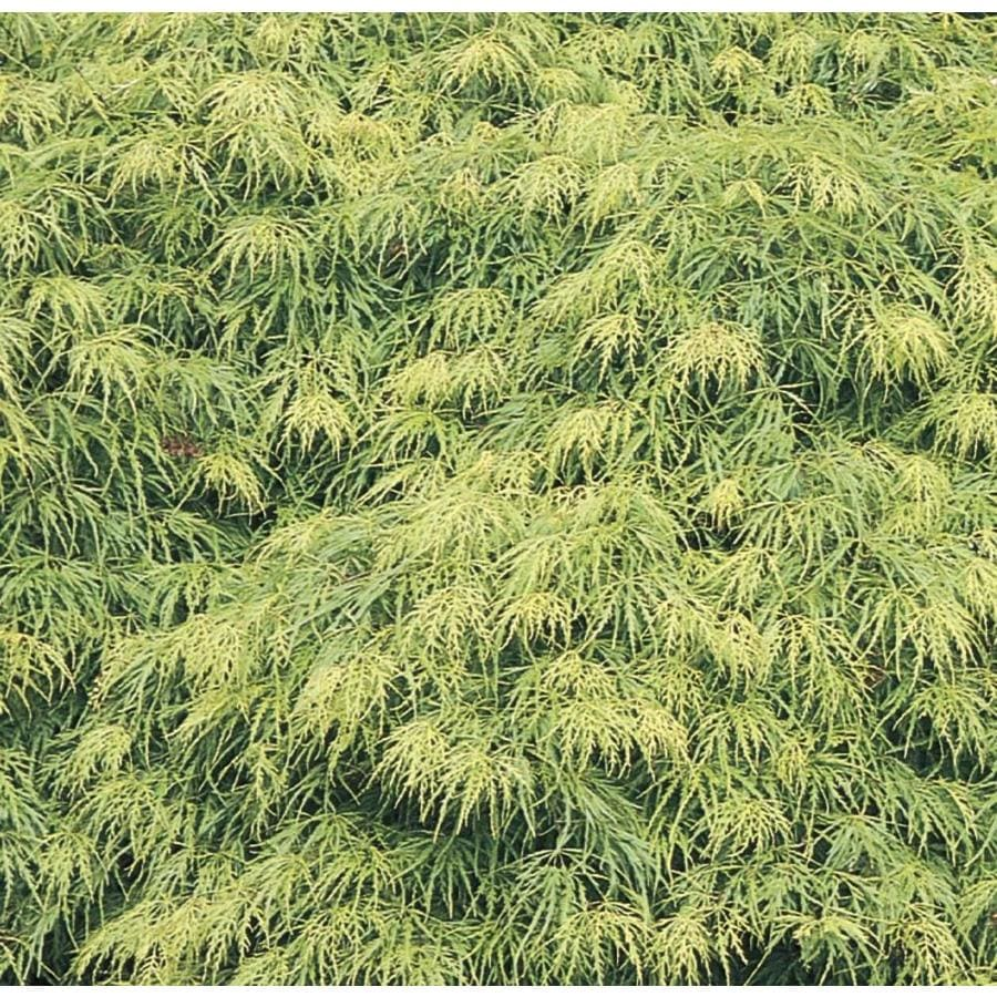 7.15-Gallon Laceleaf Japanese Maple Feature Tree (L11472)