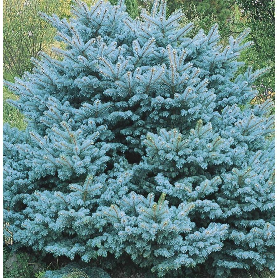 7.15-Gallon Colorado Blue Spruce Globe Feature Tree (L14441)
