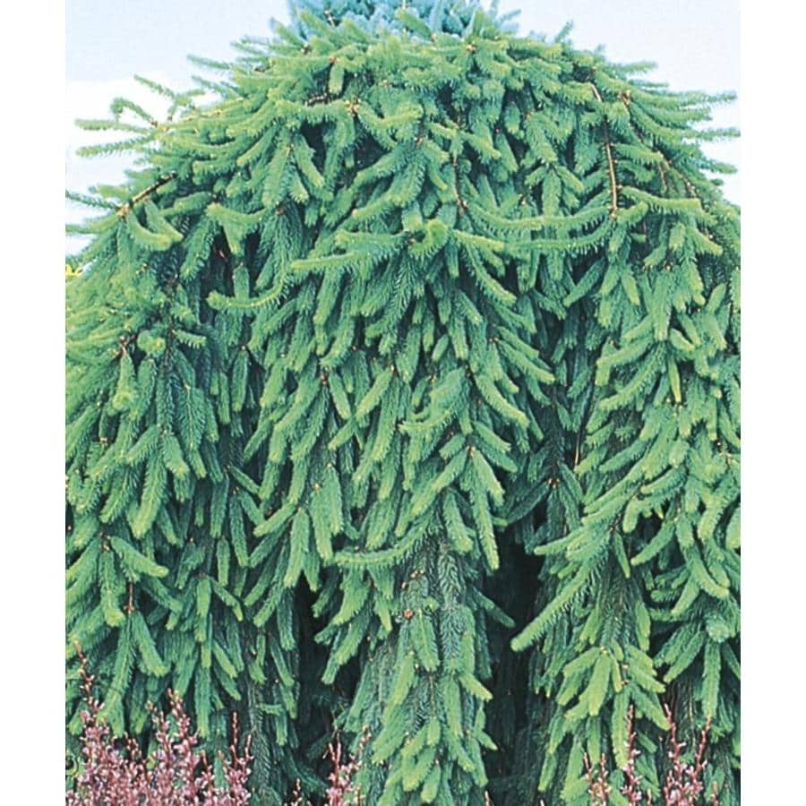 715 Gallon Weeping Norway Spruce Feature Shrub In Pot L4097 At
