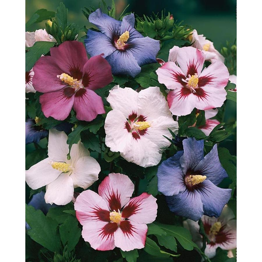 3.58-Gallon Mixed Rose of Sharon Flowering Shrub (L1203)