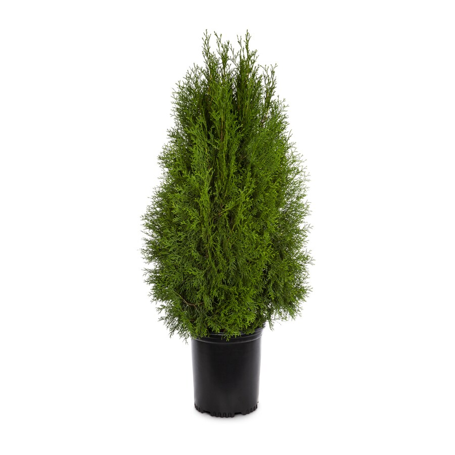 3.58-Gallon Emerald Green Arborvitae Screening Shrub (L5480)
