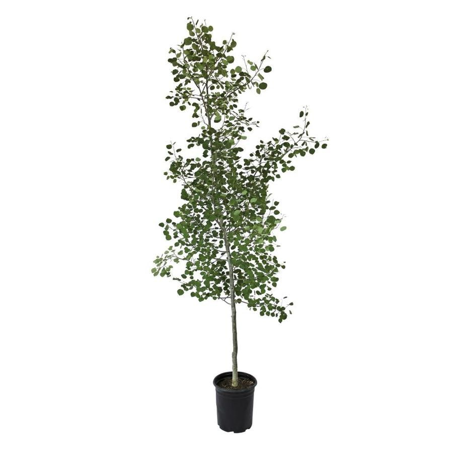 3.58-Gallon Trembling Aspen Shade Tree (L4358)