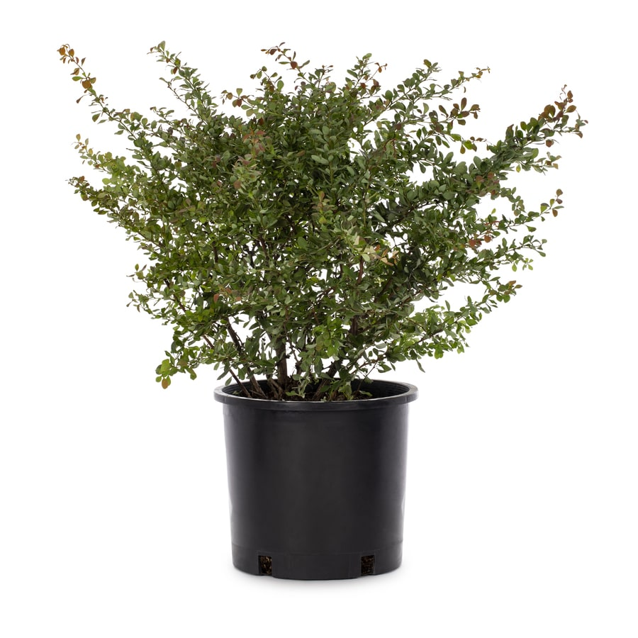 3.58-Gallon Crimson Pygmy Barberry Accent Shrub (L10821)