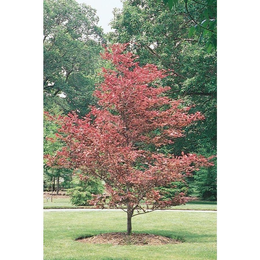 3.58-Gallon Tricolor Beech Feature Tree (L7232)