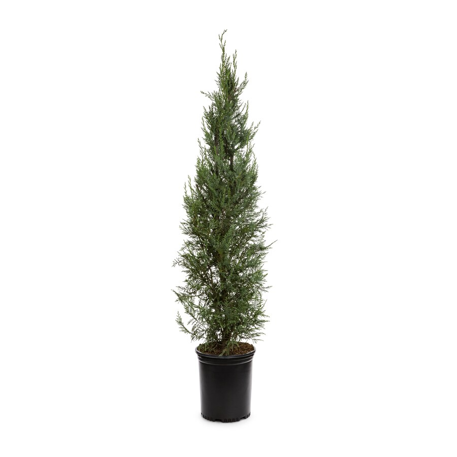 3.58-Gallon Leyland Cypress Screening Tree (L3153)