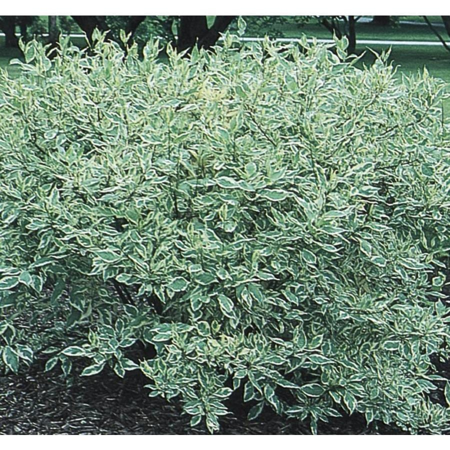 3.58-Gallon White Variegated Dogwood Flowering Shrub (L6198)