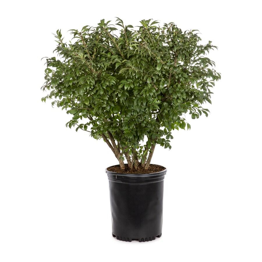 3.58-Gallon Burning Bush Foundation/Hedge Shrub in Pot ...
