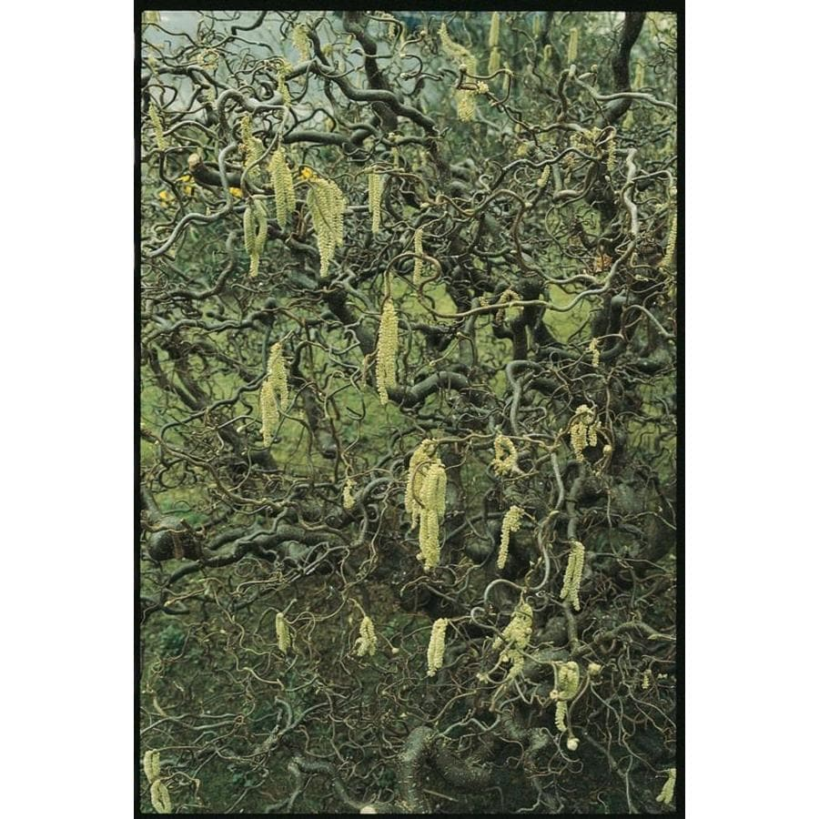 3.58-Gallon Yellow Contorted Filbert Feature Shrub (L5174)