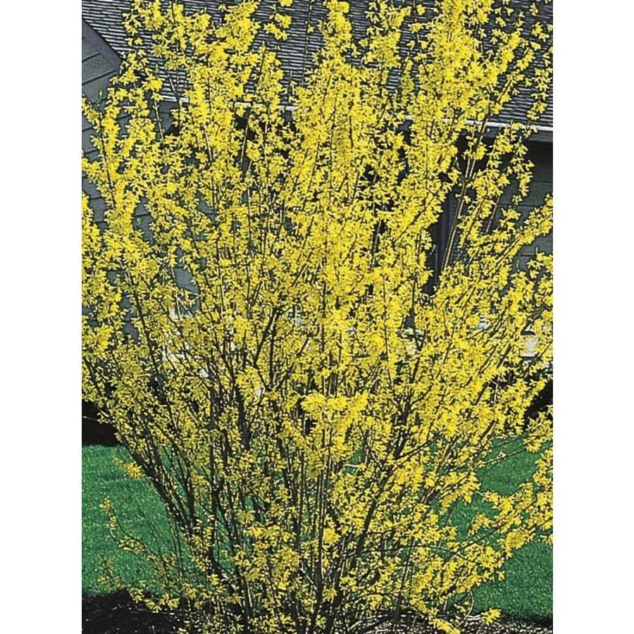 Shop 358 Gallon Yellow Forsythia Flowering Shrub In Pot L3184 At