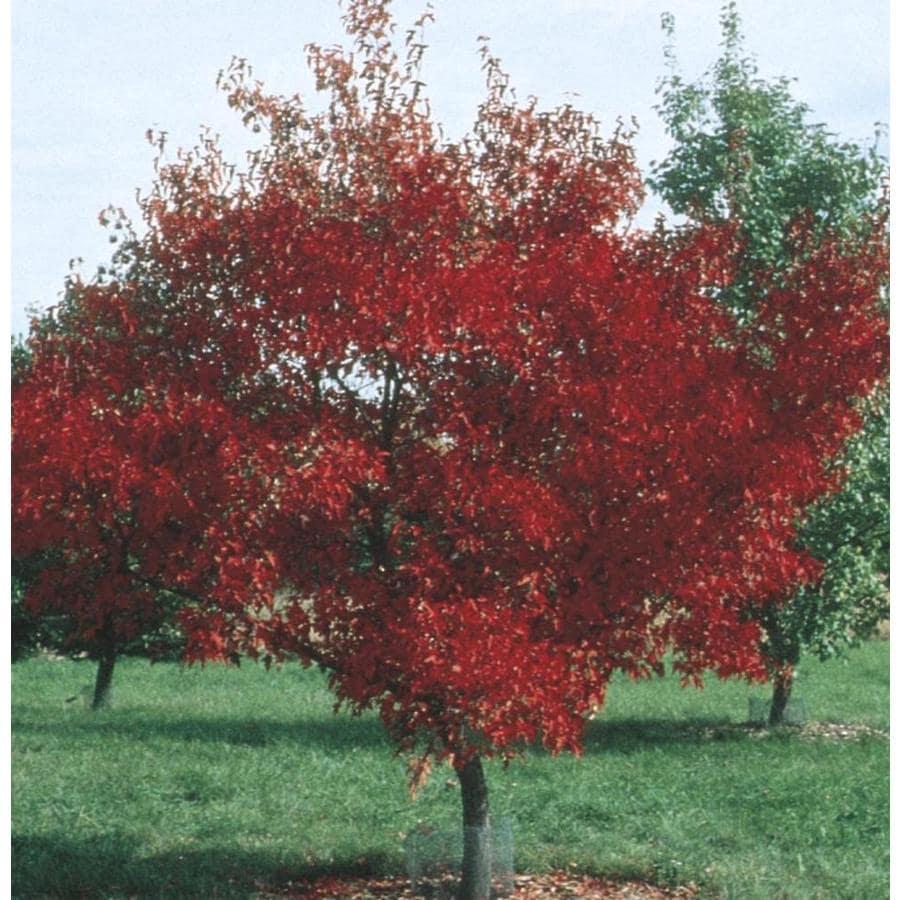 3.58-Gallon Amur Maple Shade Tree (L7792)