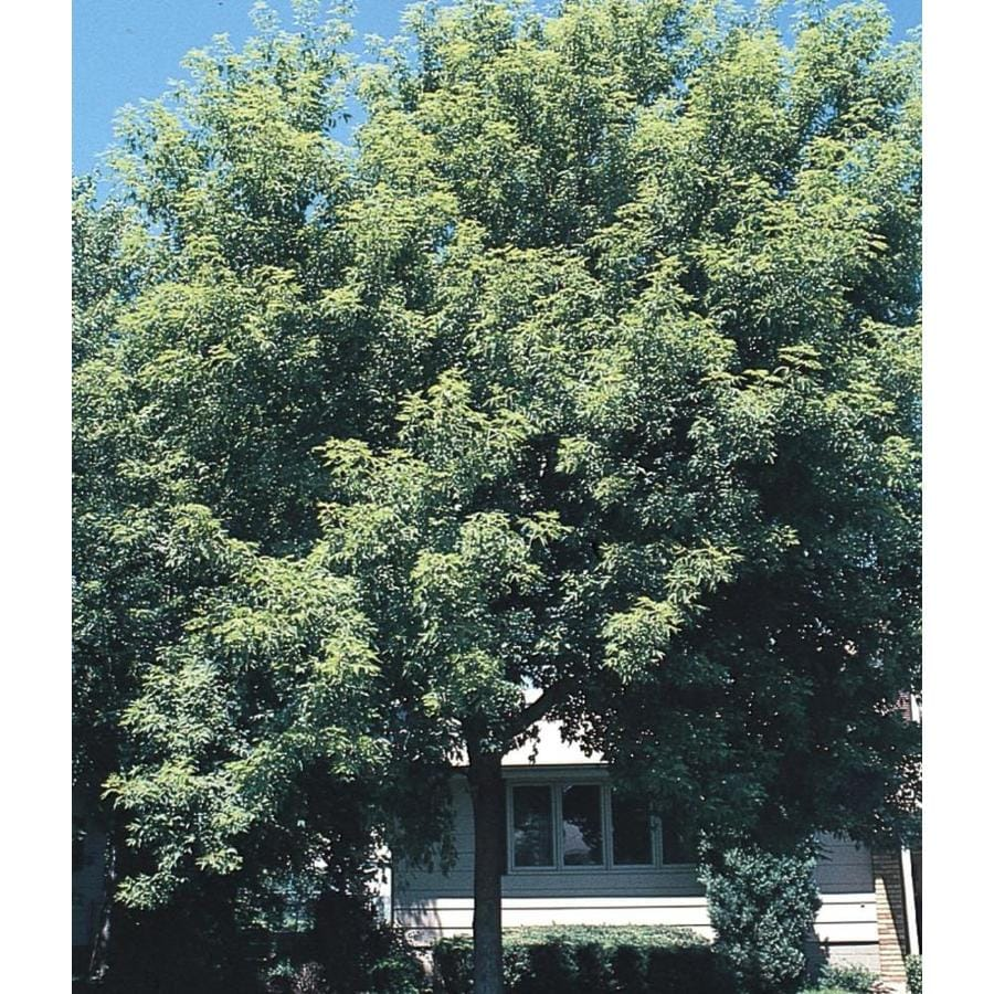 3.58-Gallon Box Elder Shade Tree (LW01571)
