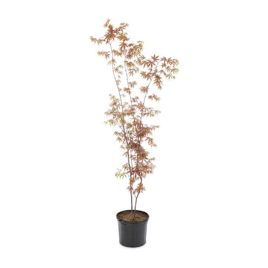 3.58-Gallon Japanese Maple Feature Tree (L4163)