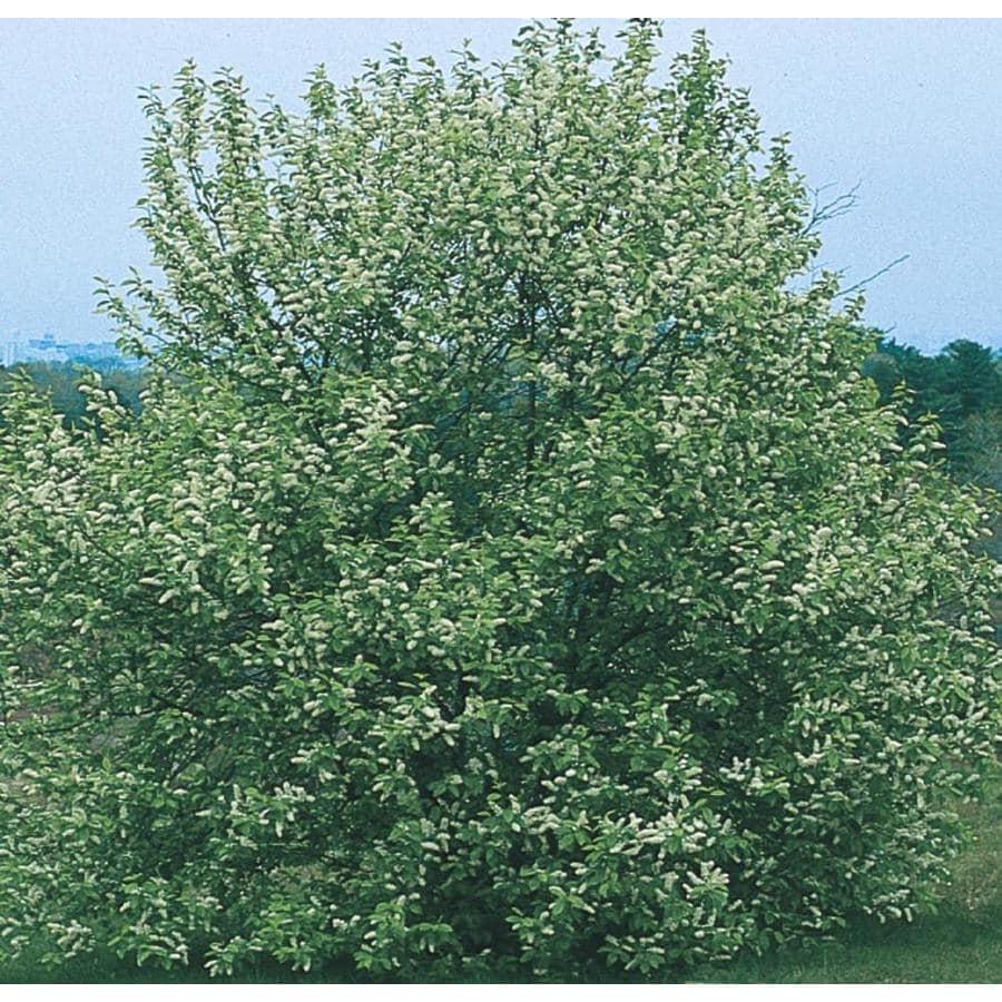 3.58-Gallon May Day Tree Shade Tree (L10487)