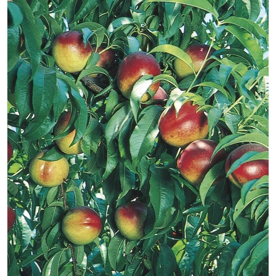 3-Gallon Nectarine Tree (L10424)