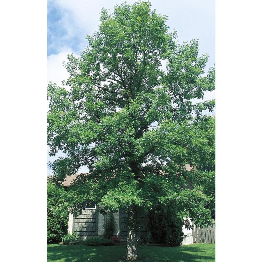 3.58-Gallon Bur Oak Shade Tree (L1102)