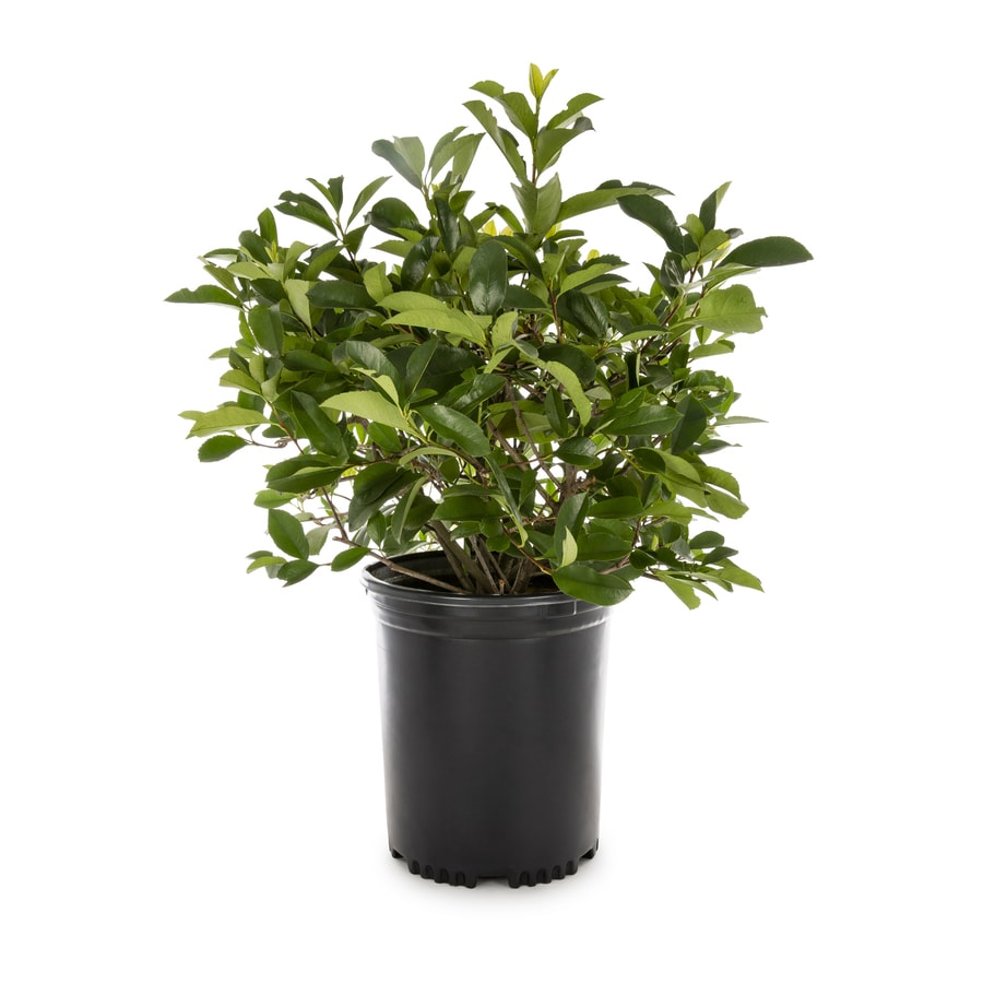 3.58-Gallon White Red Tip Photinia Screening Shrub (L3049)