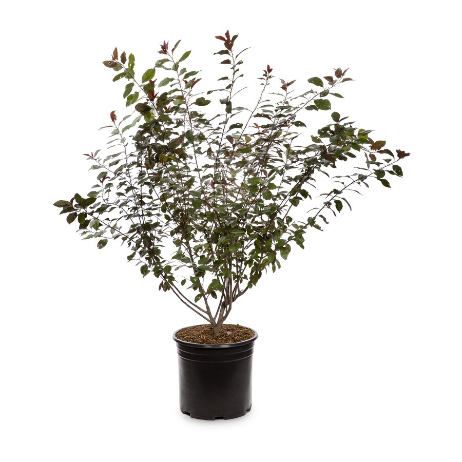 3.58-Gallon Pink Sand Cherry Feature Shrub (L9311)
