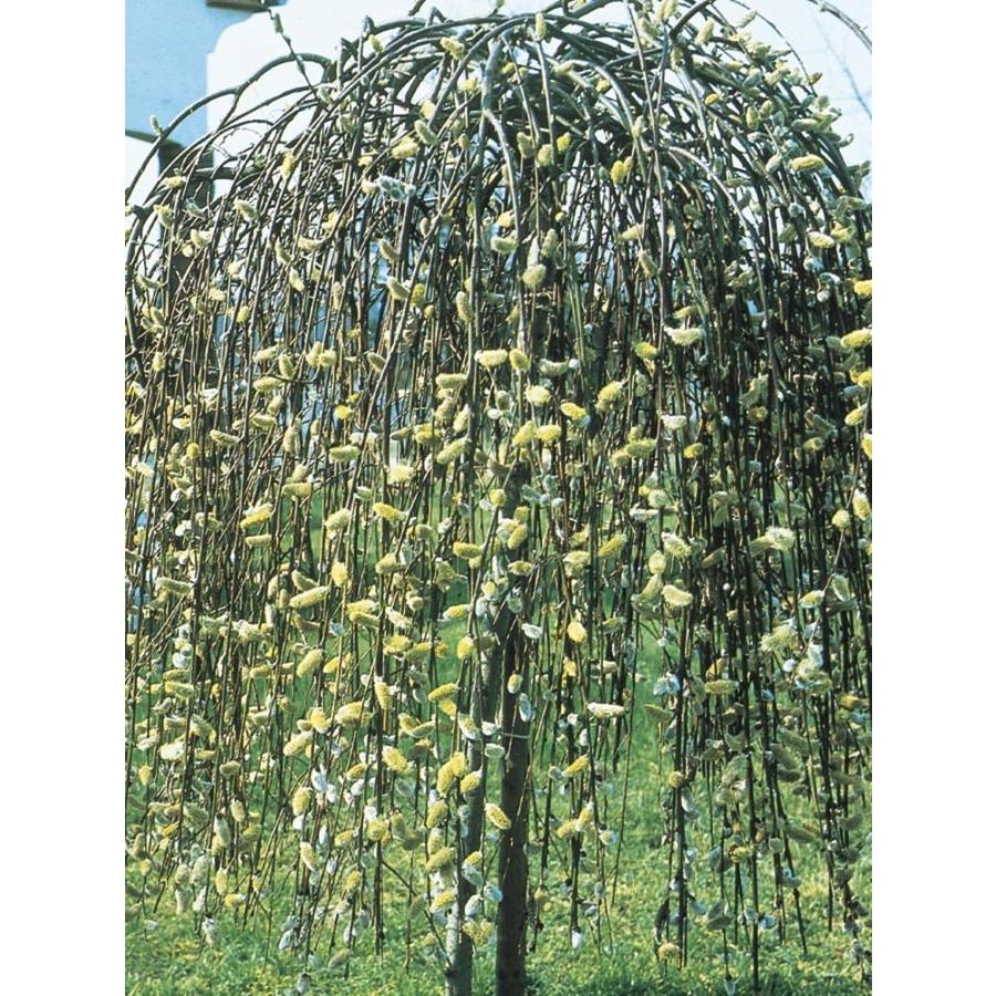 3.58-Gallon Yellow Weeping Pussy Willow Tree Feature Shrub (LW01654)