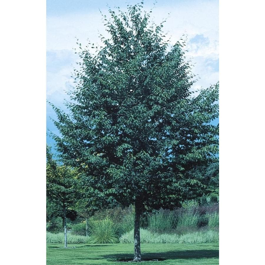 9.16-Gallon European Beech Shade Tree (L8551)