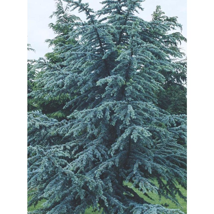 9.16-Gallon Blue Atlas Cedar Feature Tree (L4673)
