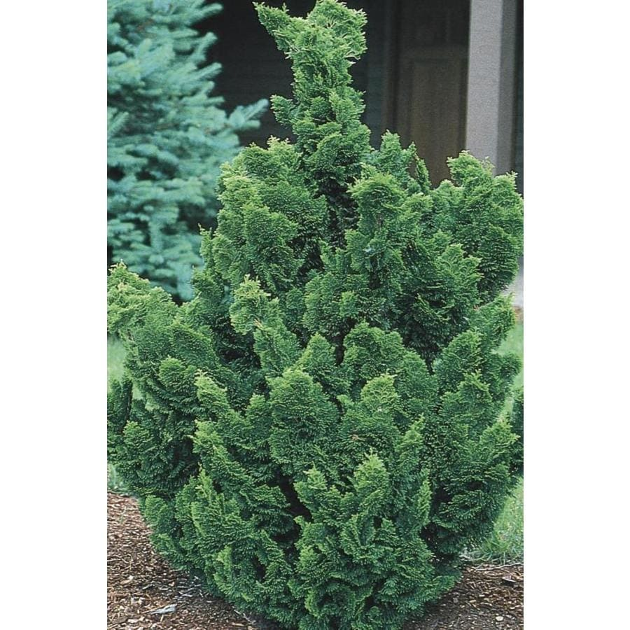 9.16-Gallon Hinoki False Cypress Feature Tree (LW02477)