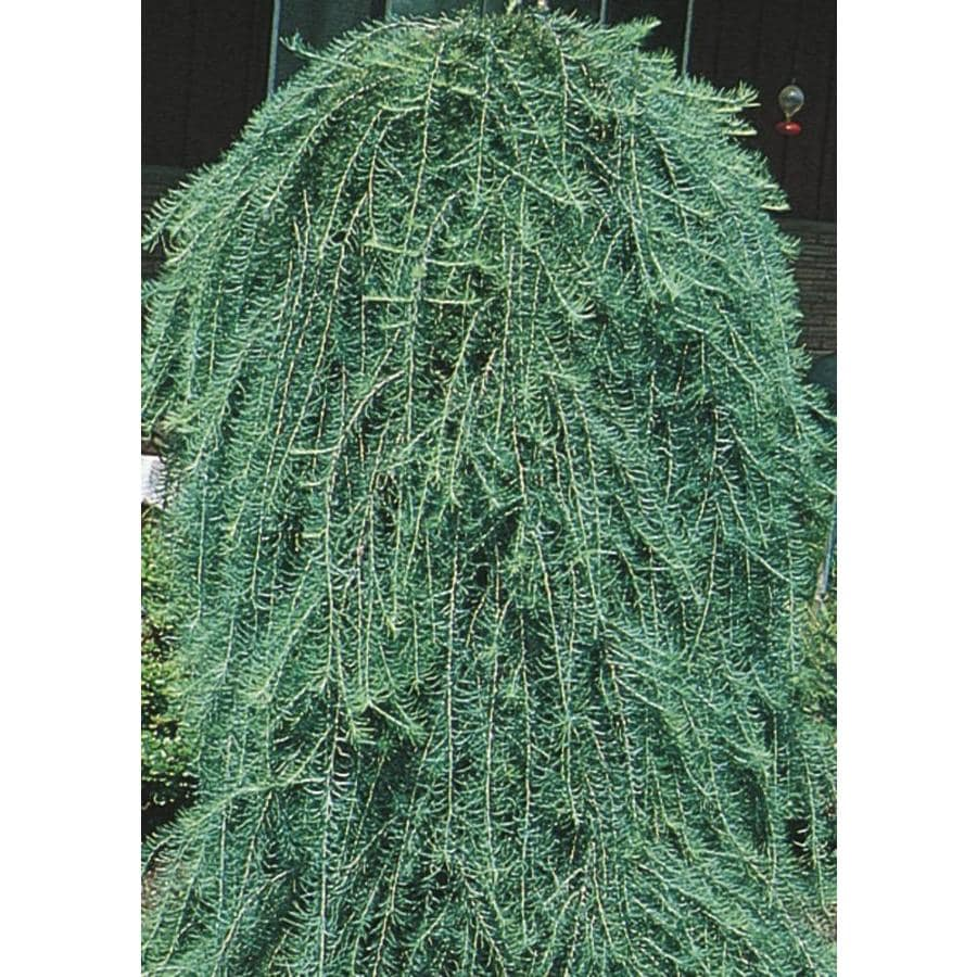 9.16-Gallon Weeping Larch Feature Tree (L17067)