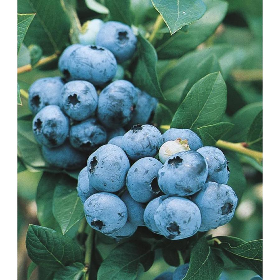 2-Gallon Blueberry Small Fruit (L6021)