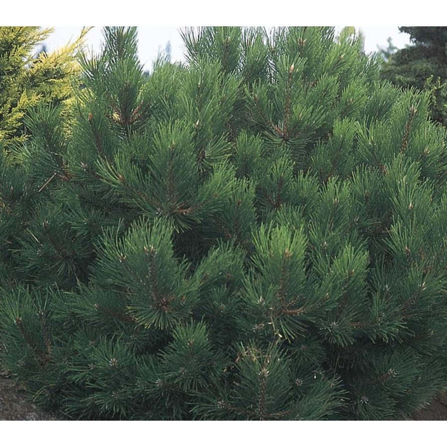 7.15-Gallon Oregon Green Austrian Pine Feature Tree (L24030)