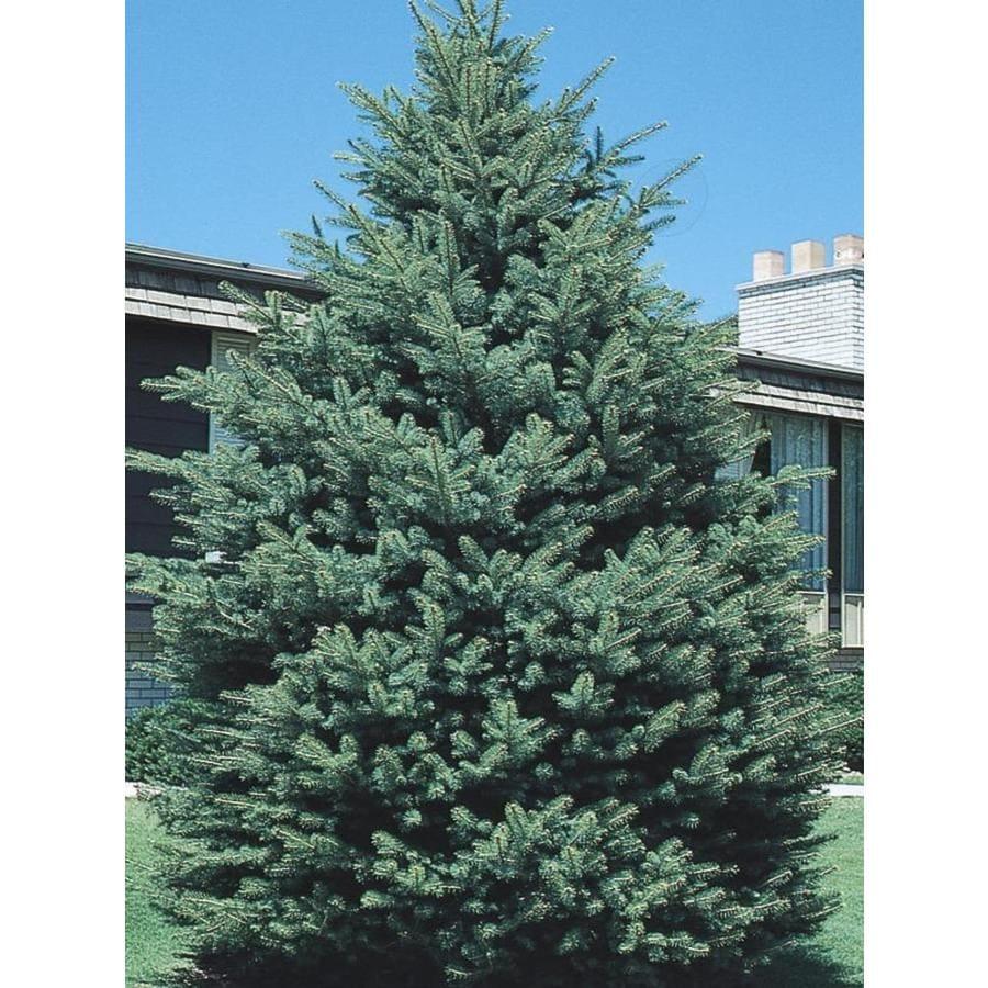 3.58-Gallon Black Hills Spruce Feature Tree (L4531)