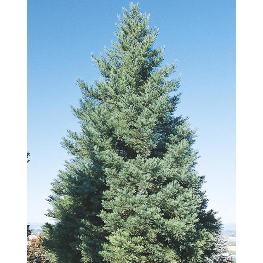 12.33-Gallon Giant Sequoia Feature Tree (L23064)
