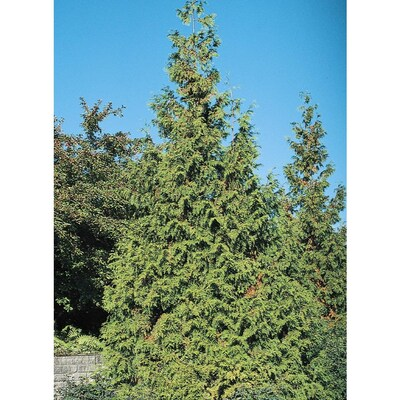 7 15-Gallon Western Red Cedar Feature Tree in Pot (With Soil
