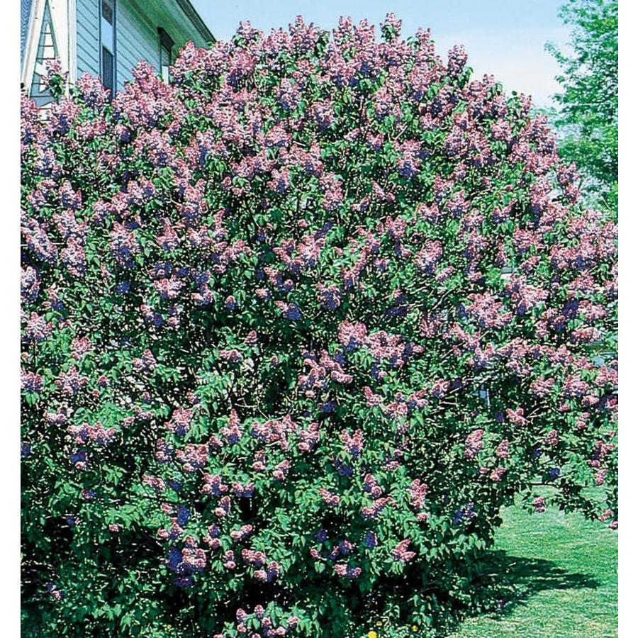 3.58-Gallon Purple Old Fashioned Purple Lilac Flowering Shrub (L7783)