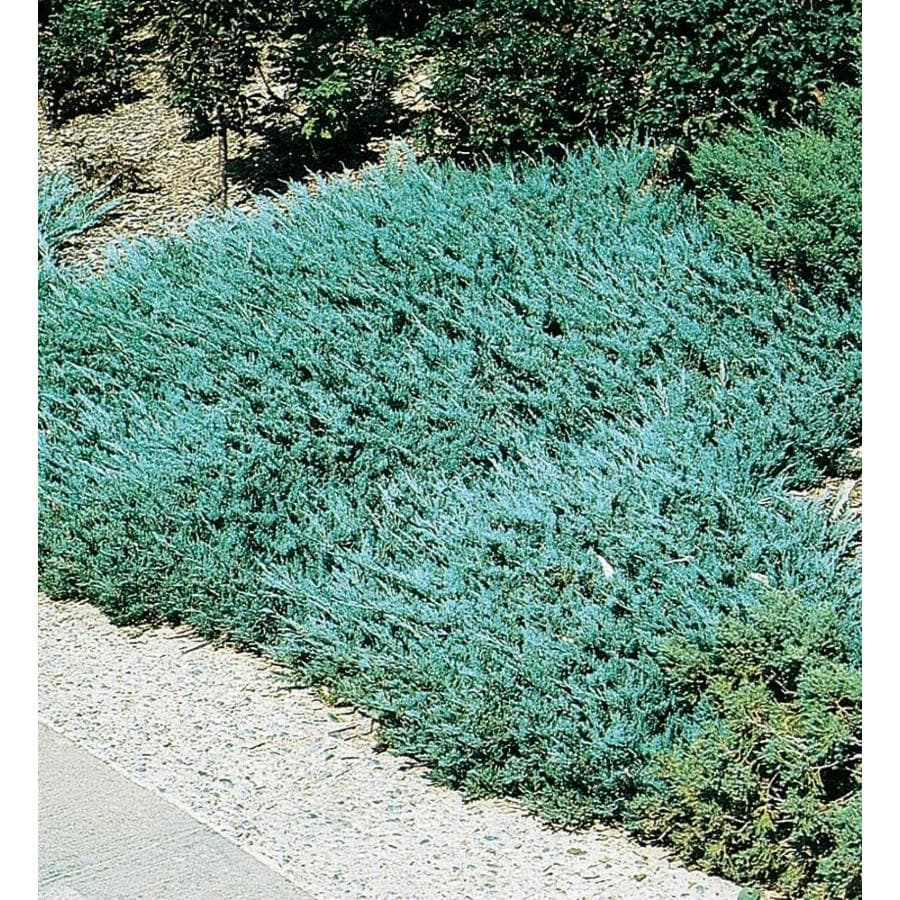 2.58-Gallon Blue Chip Juniper Accent Shrub (L3784)