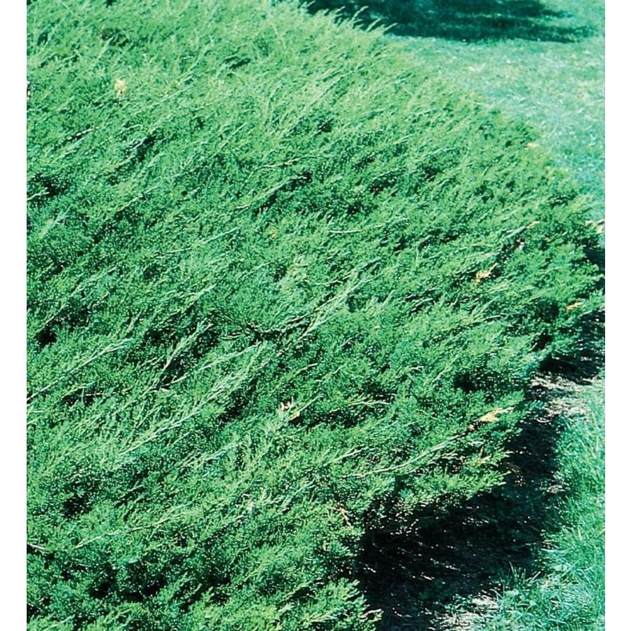 2.58-Gallon Buffalo Juniper Accent Shrub (L5186)