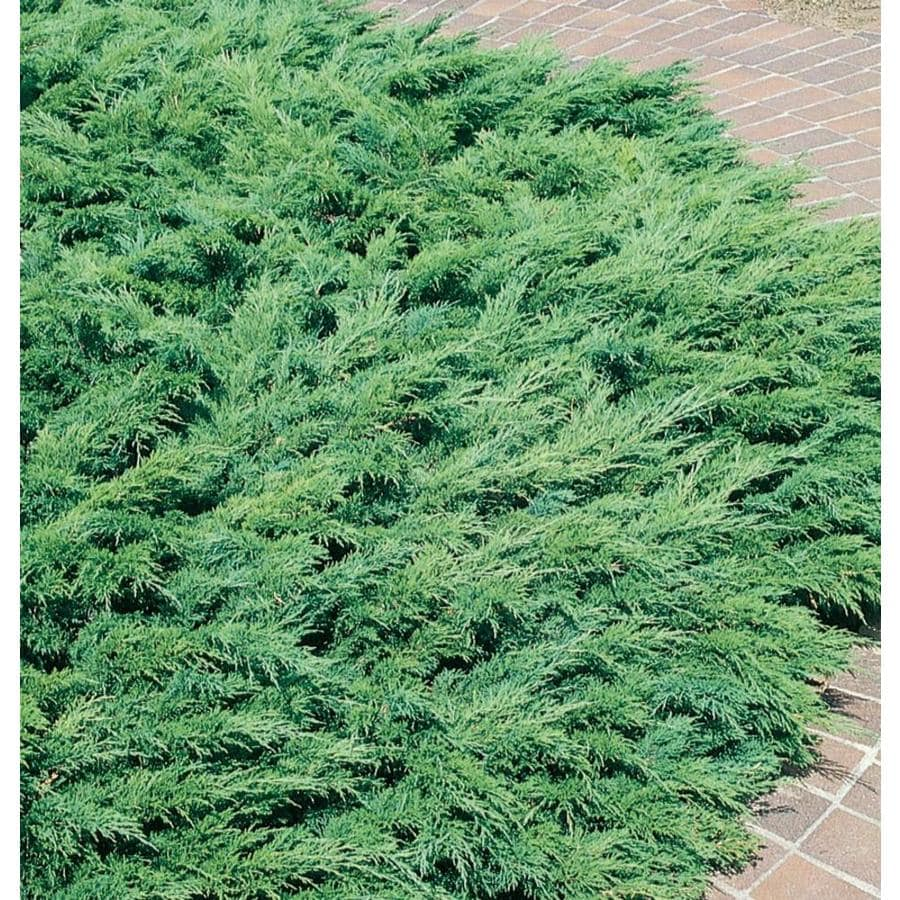 2.58-Gallon Calgary Carpet Juniper Accent Shrub (L14224)
