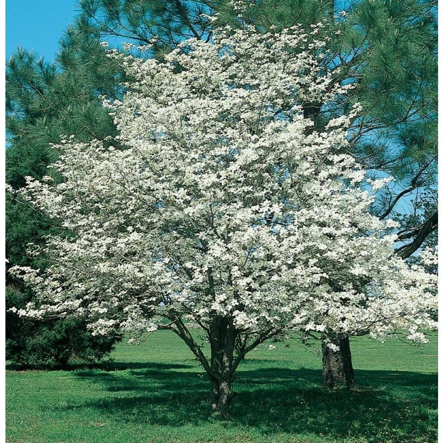 3.58-Gallon Cloud Nine Dogwood Flowering Tree (L6138)