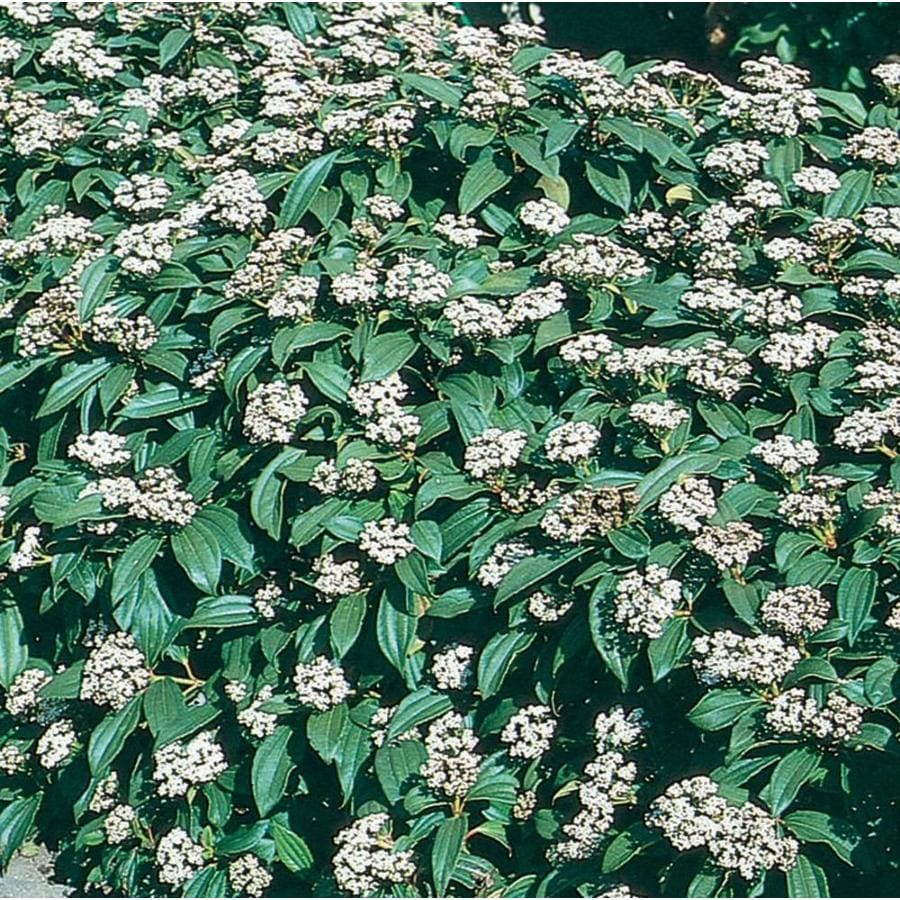 2.58-Gallon White David Viburnum Flowering Shrub (L4149)