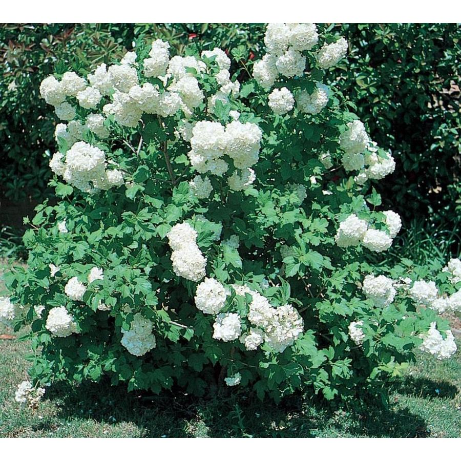 258 Gallon White Common Snowball Viburnum Flowering Shrub In Pot
