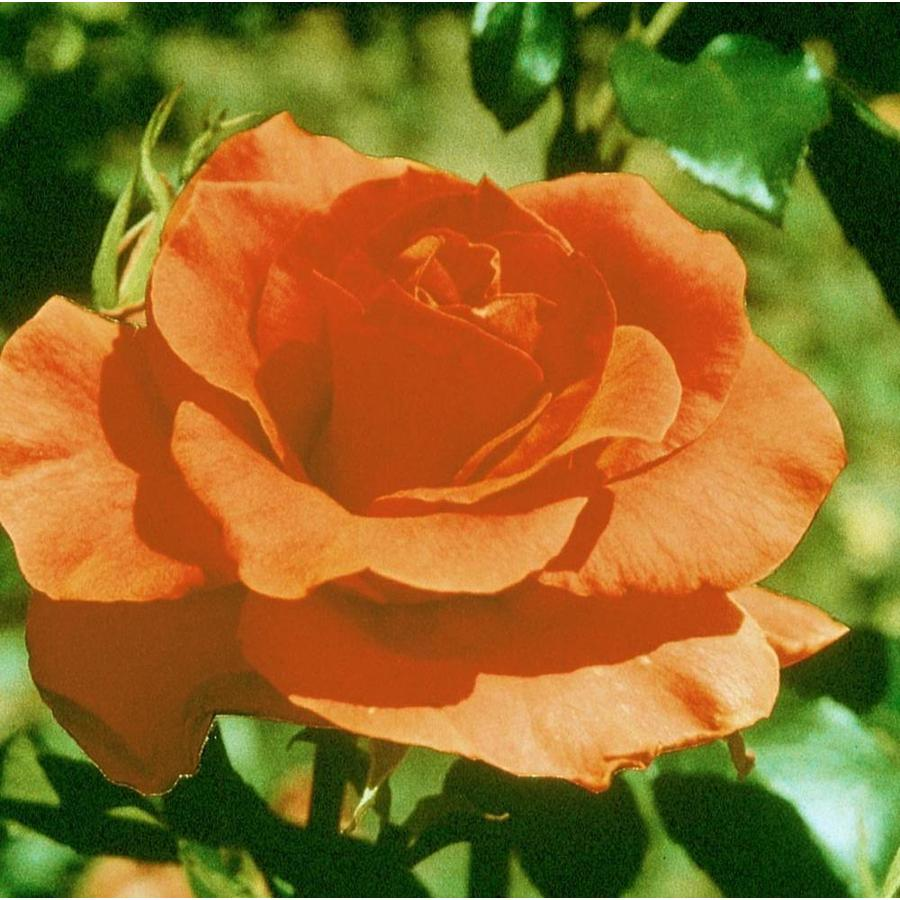 1.74-Gallon Orange Rose (L2223)
