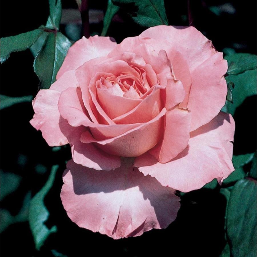 1.74-Gallon Pink Rose (L3272)