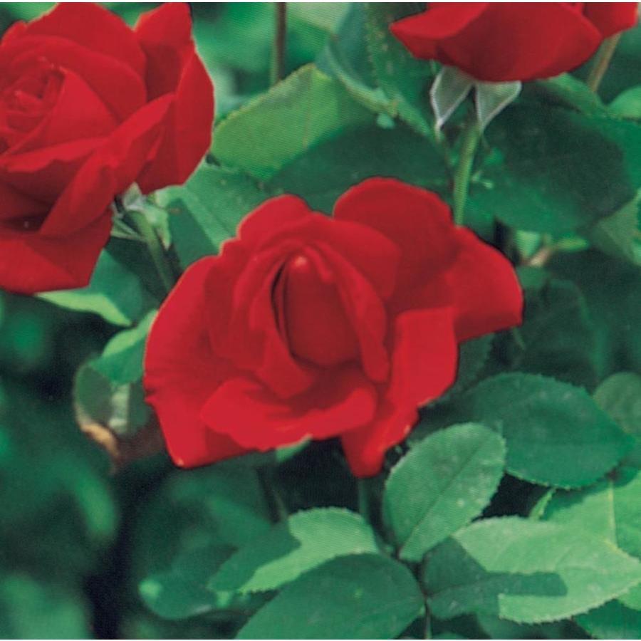 1.74-Gallon Red Rose (L3273)