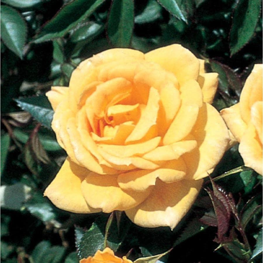 1.74-Gallon Yellow Rose (L3275)