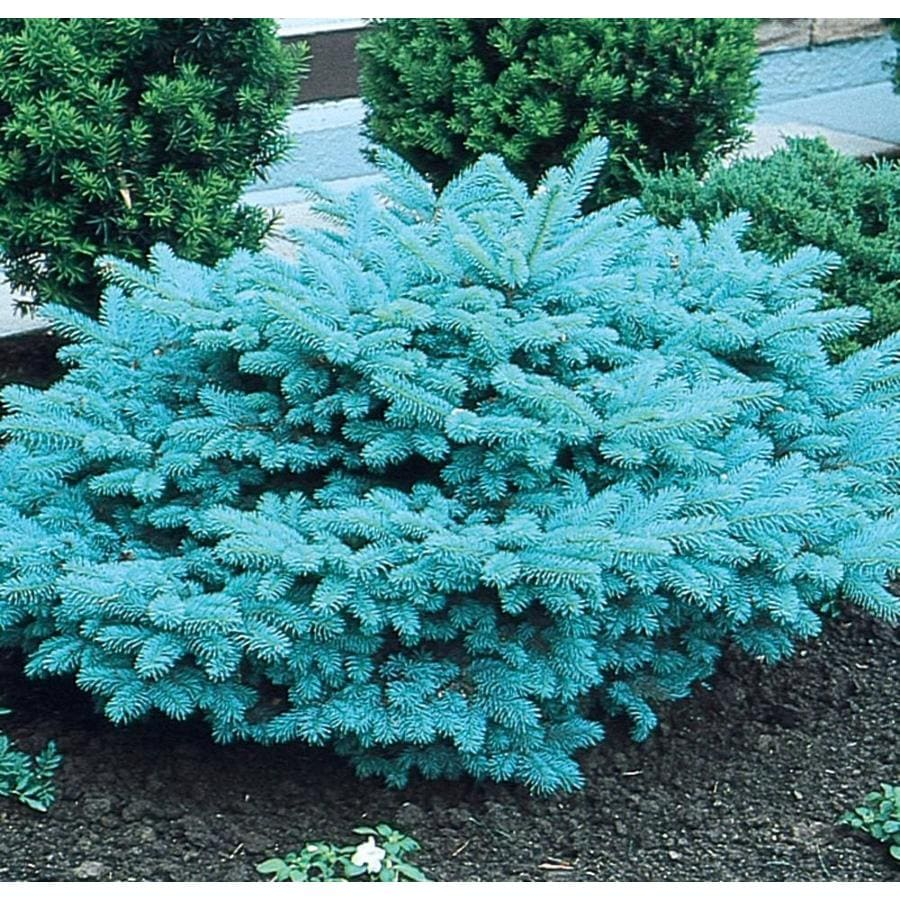 3.58-Gallon Blue Globosa Spruce Feature Tree (L4100)