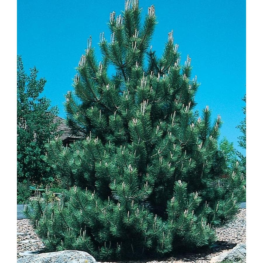 3.58-Gallon Austrian Black Pine Feature Tree (L3618)