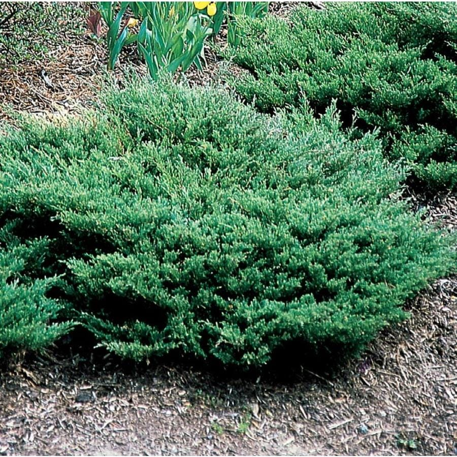 2.87-Quart Youngstown Juniper Accent Shrub (L3790)