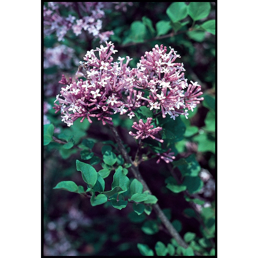 2.6-Quart Lavender Lilac Flowering Shrub