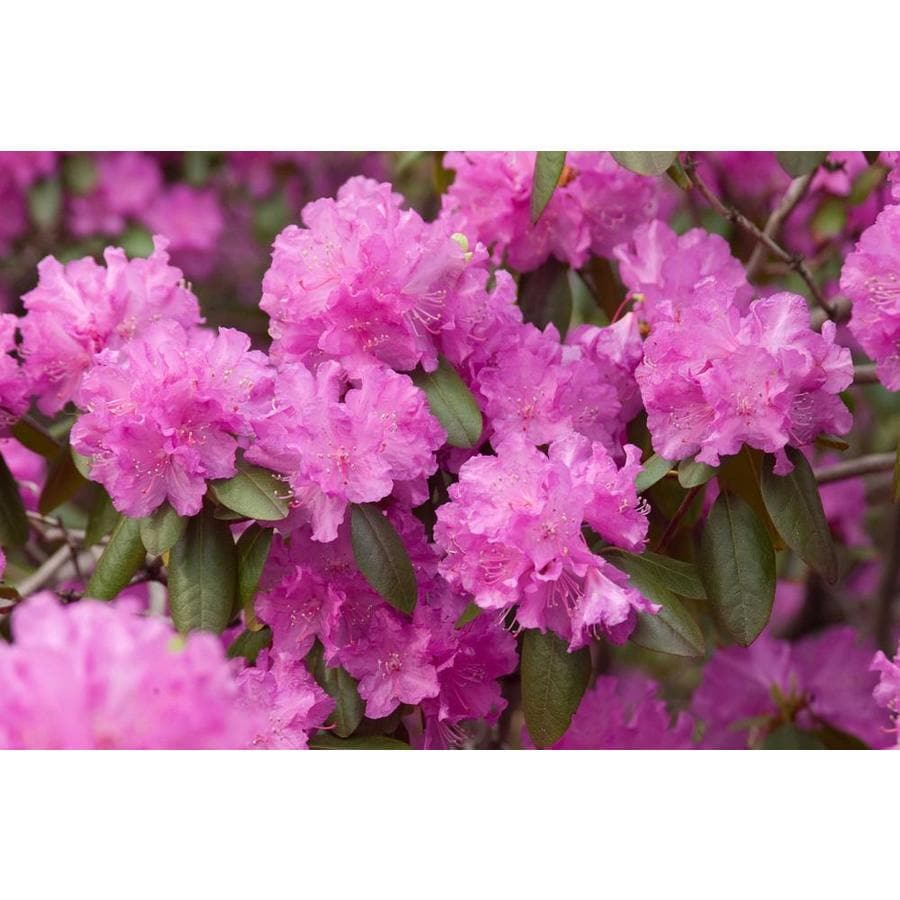 3.58-Gallon Pink Rhododendron Flowering Shrub