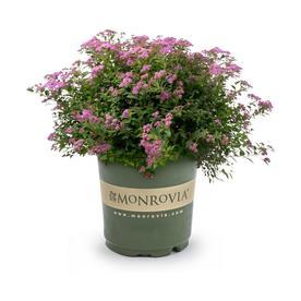 Monrovia 3 58 Gallon Pink Magic Carpet Spirea Flowering Shrub In Pot